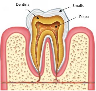 anatomia dente