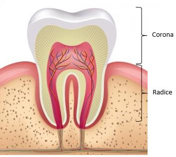 anatomia del dente