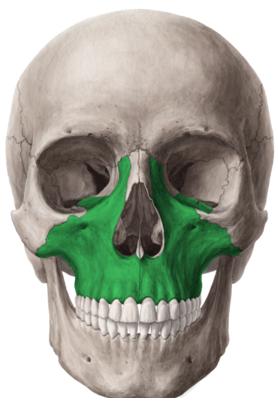 anatomia della mascella