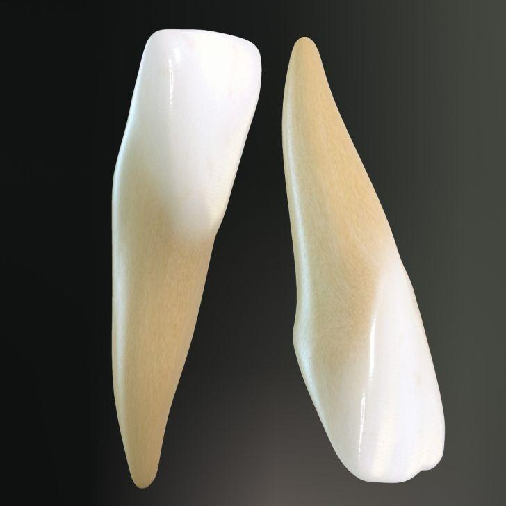 anatomia della bocca dente incisivo