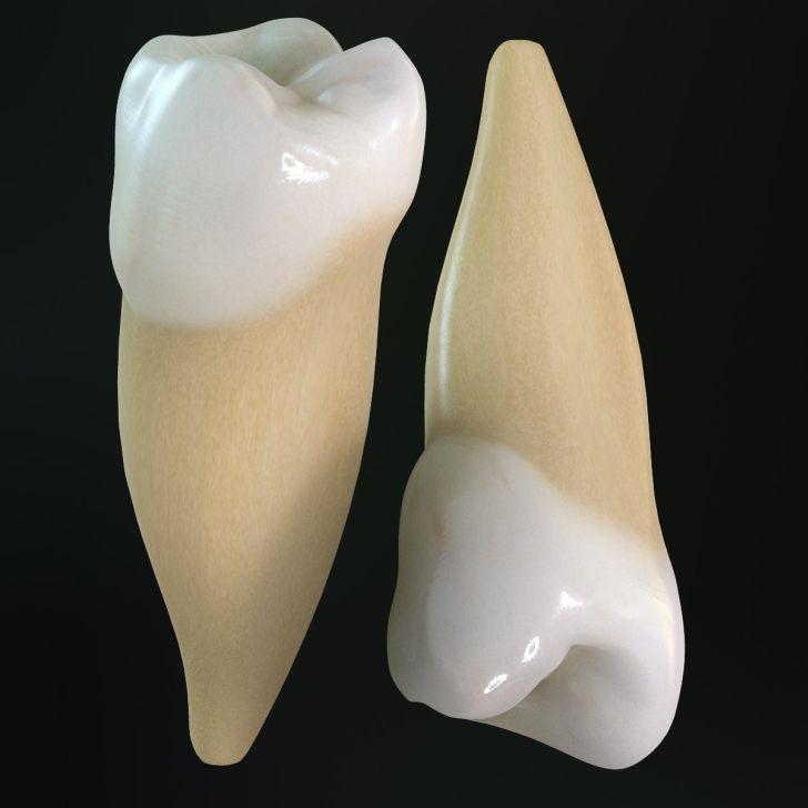 anatomia della bocca secondi premolari