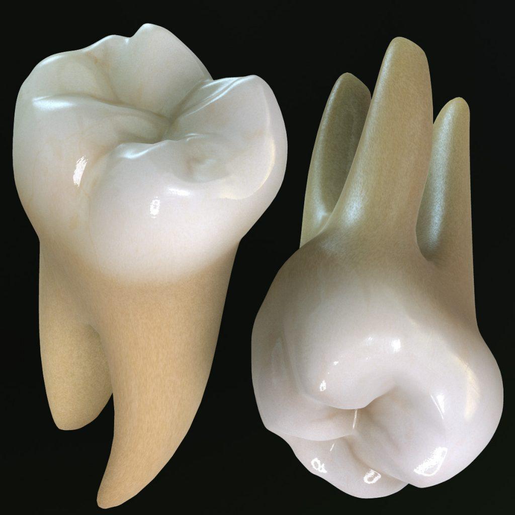anatomia della bocca primo molare