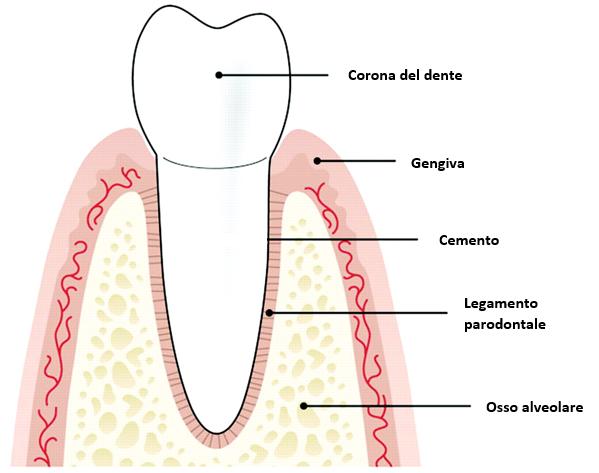 struttura parodonto