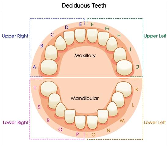 numerazione dei denti in americano